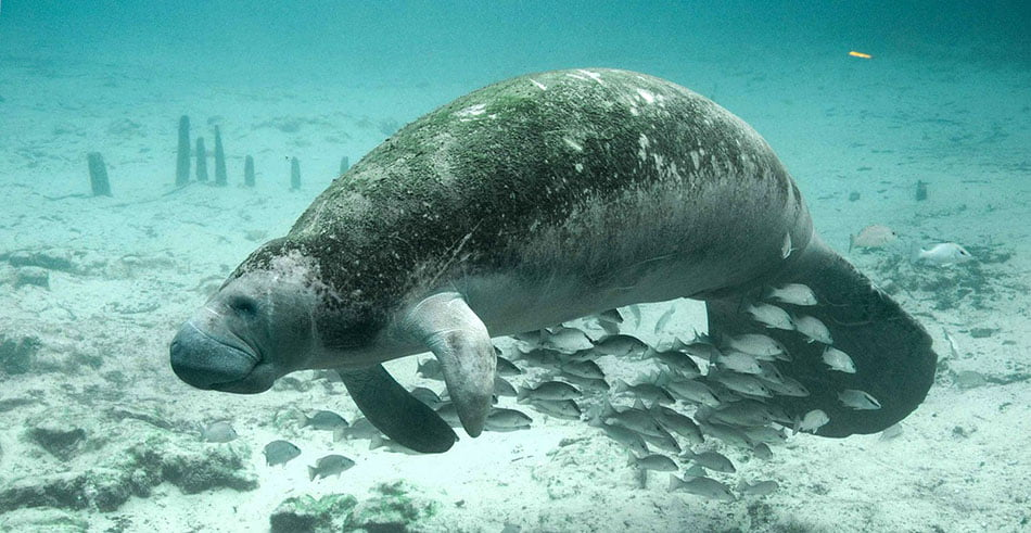 West Indian Manatees