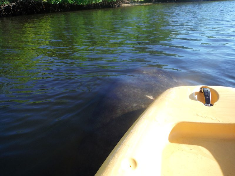 Manatee-Spotted-from-Paddleboard