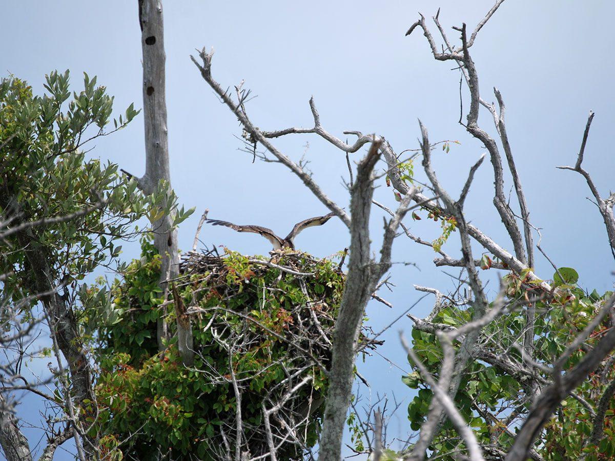 Ospreys Nesting at Lovers Key State Park