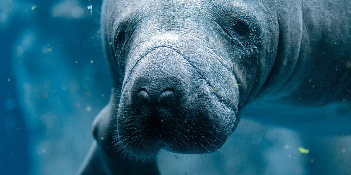 manatee-viewing-guidelines-safely-getting-up-close-and-personal