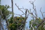 Ospreys Nesting at Lovers Key State Park